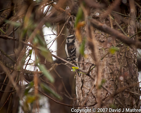 Female Downy Woodpecker. Image taken with a Nikon D2xs camera and 80-400 mm VR lens (ISO 200, 400 mm, f/5.6, 1/40 sec) (David J Mathre)