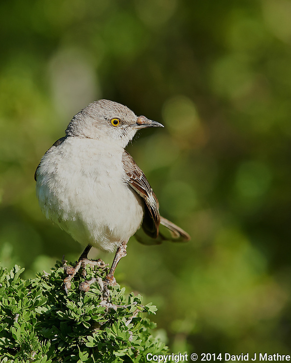 Mockingbird with a Growth on its Beak. Dos Venadas Ranch in Southern Texas. Image taken with a Nikon D800 camera and 400 mm f/2.8 lens (ISO 200, 400 mm, f/4, 1/1000 sec). (David J Mathre)