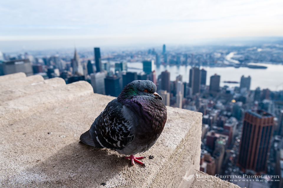 US, New York City. View from the Empire State Building observation deck. Pigeon taking a rest. (Photo Bjorn Grotting)