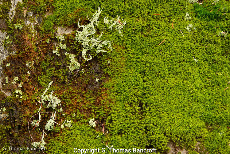 Exposed moss and lichens gave color to thw white landscape in the Commonwealth Basin. (G. Thomas Bancroft)