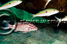 Whitesaddle Goatfish, Parupeneus ciliatus, (Lacepède, 1802), kümü, Molokai Hawaii (Steven W SMeltzer)