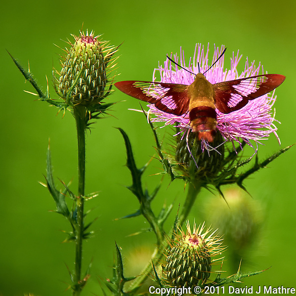 Hummingbird Clearwing Moth on Thistle Bloom. Sourland Mountain Preserve, Summer Nature in New Jersey. Image taken with a Nikon D700 and 28-300 mm VR lens (ISO 200, 300 mm, f/5.6, 1/2000 sec). Raw image processed with Capture One Pro 6, Nik Define, and Photoshop CS5. (David J Mathre)