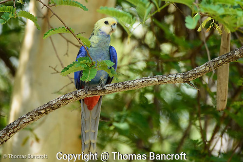 The pale-headed rosella turned around so I couls see the blue breast and chest feathers and the blood red vent feathers. These contrasted nicely with the pale yellow head feathers. (G. Thomas Bancroft)