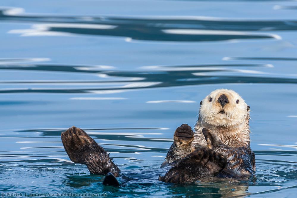 Sea otters, Port Wells, Prince William Sound, southcentral, Alaska. (Patrick J. Endres / AlaskaPhotoGraphics.com)