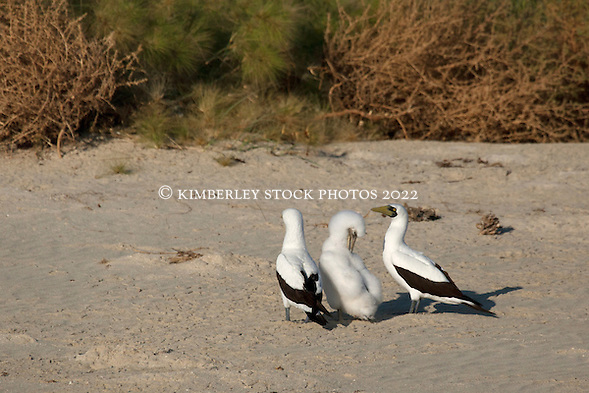 Masked Booby parents guard their young chick at Adele Island, the most remote island off the Kimberley coast of Western Australia. (Annabelle Sandes/ Annabelle Sandes | Kimberley Media)