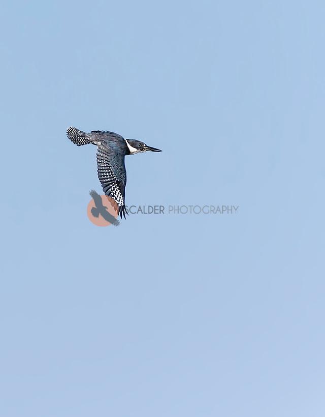 Belted Kingfisher in flight with wings in downstroke (Sandra Calderbank, sandra calderbank)