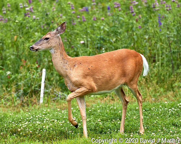 Doe with horseflies. Image taken with a Leica CL camera and 90-280 mm lens. (DAVID J MATHRE)
