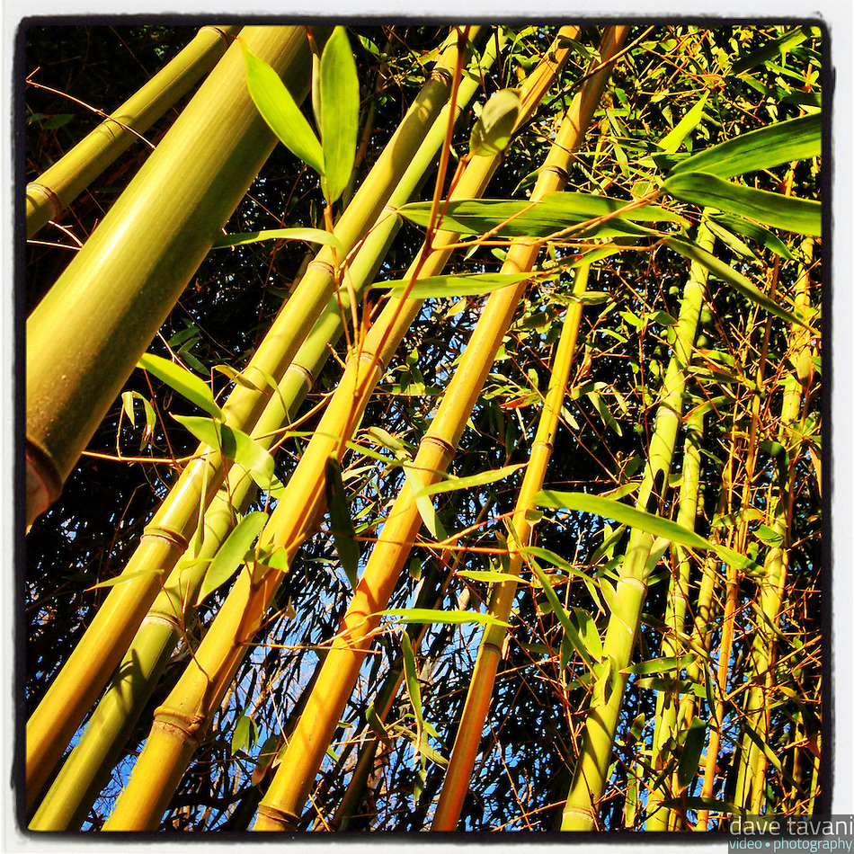 The afternoon sun warms a stand of bamboo on Duval Street in the Germantown section of Philadelphia on January 5, 2013. (Dave Tavani)