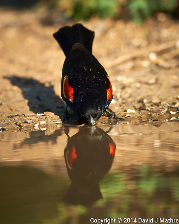 Red-winged Blackbird Taking a Drink at Dos Vandas Ranch in Southern Texas. Image taken with a Nikon D800 camera and 400 mm f/4 lens (ISO 110, 400 mm, f/2.8, 1/1000 sec). (David J Mathre)