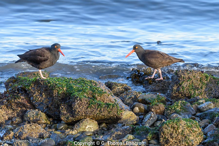 Two Black Oystercatchers amble along the shore of Padilla Bay enjoying the last afternoon sun on this winter day. (G. Thomas Bancroft)
