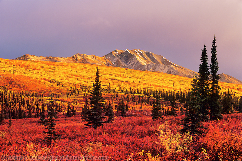 Autumn tundra and taiga in Denali National park, Alaska. (Patrick J. Endres / AlaskaPhotoGraphics.com)