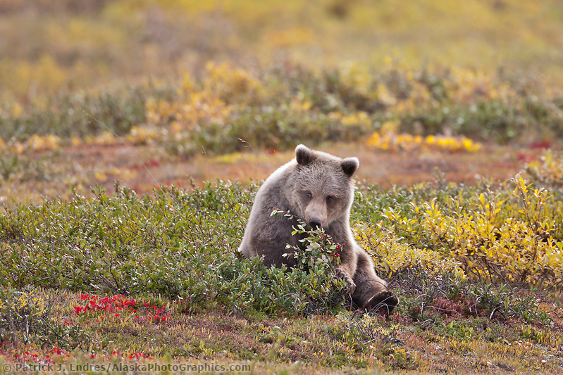 Young grizzly bear sits in the autumn tundra while feeding on ripe, red soapberries in Highway pass, Denali National Park, interior. (Patrick J. Endres / AlaskaPhotoGraphics.com)