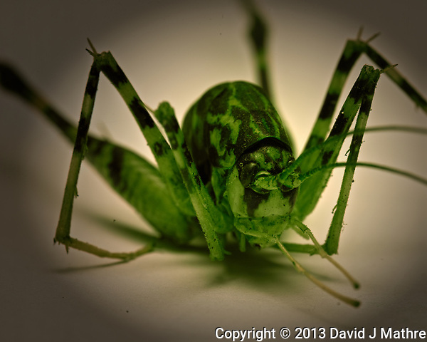 Mutant Camel Cricket in my basement. Indoor nature in New Jersey. Image taken with a Nikon D800 camera and 105 mm f/2.8 VR macro lens (ISO 200, 105 mm, f/22, 1/30 sec). (David J Mathre)