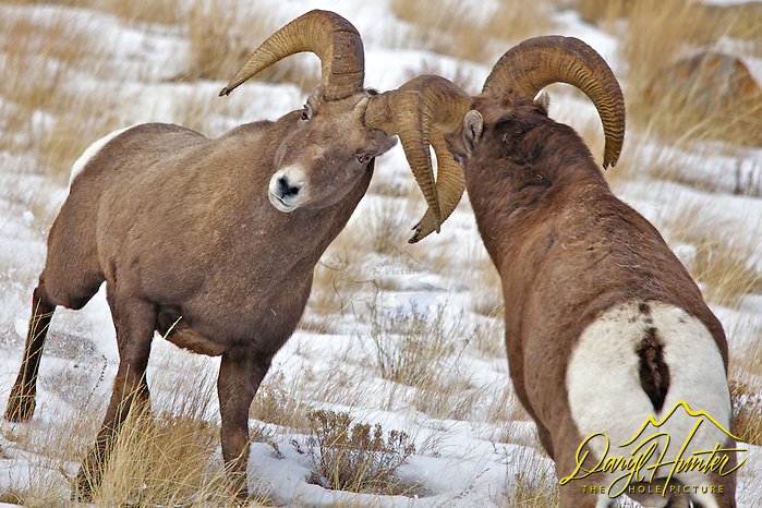 Fighting Bighorn Rams, Miller Butt, National Elk Refuge, Jackson Hole, Wyoming