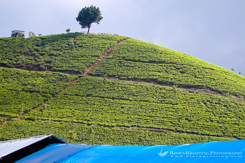 Indonesia, Java, Puncak. Green hills covered with tea plants in the Puncak Pass. (Photo Bjorn Grotting)