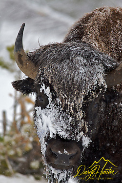 Snowy Bison, Yellowstone National Park (© Daryl L. Hunter - The Hole Picture/Daryl L. Hunter)