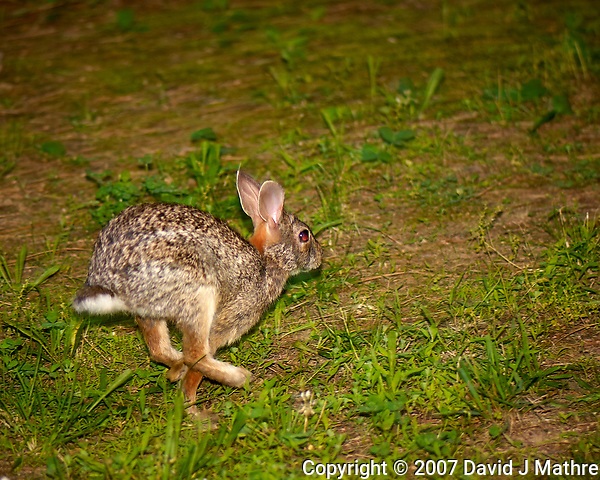 Bunny on the run. Late-spring backyard nature in New Jersey. Image taken with a Nikon D2xs camera and 105 mm f/2.8 VR macro lens and SB-800 flash (ISO 100, 105 mm, f/2.8, 1/60 sec) (David J Mathre)