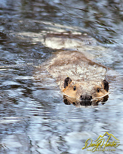 "Beaver swimming in pond in Grand Teton National Park (Daryl Hunter's ""The Hole Picture"" • Daryl L. Hunter has been photographing the Yellowstone Region since 1987, when he packed up his view camera, Pentex 6X7, and his 35mm's and headed to Jackson Hole Wyoming. Besides selling photography Daryl also publ)"
