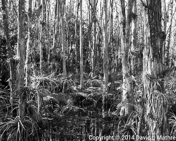 Swamp walk with Kristen and Angela in the Everglades behind Clyde Butcher's Big Cypress Gallery. Image taken with a Leica X2 camera (ISO 100, 24 mm, f/4, 1/80 sec). (David J Mathre)