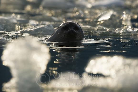 Ringed Seal (Phoca hispida) in Svalbard (Ole Jørgen Liodden)