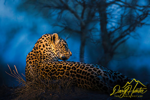 Leopard relaxing on an anthill in Sabi Sands Game Preserve at the last moment of the evening. (Daryl L. Hunter)