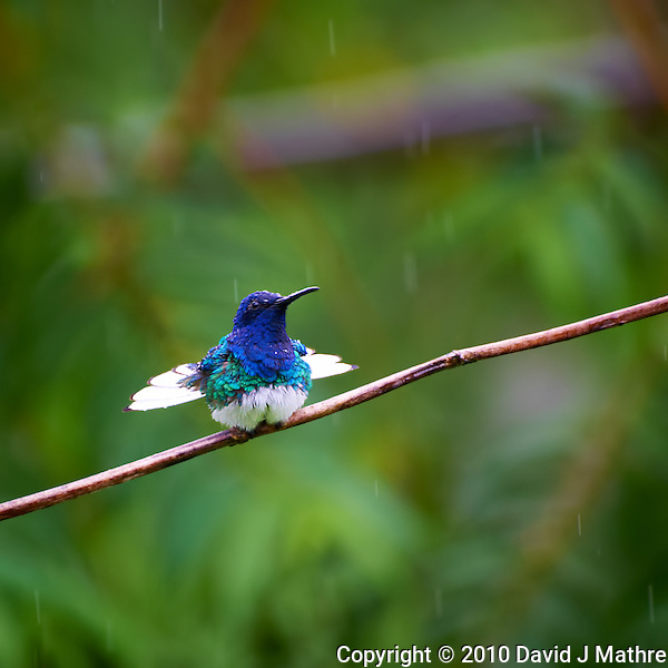 Hummingbird in the Rain, Asa Wright Nature Center, Trinidad. Image taken with a Nikon D3s and 70-300 mm VR lens (ISO 640, 300 mm, f/5.6, 1/320 sec). (David J Mathre)