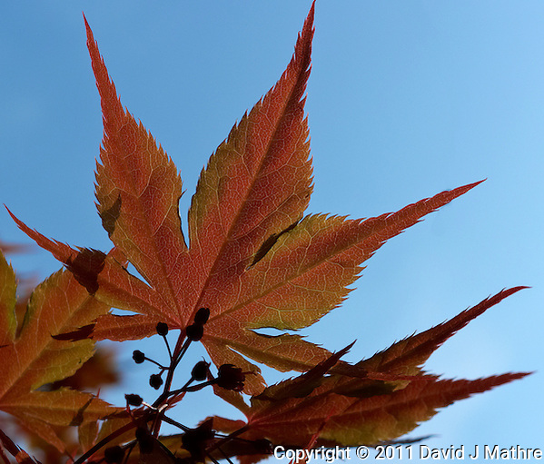 Early Spring Maple Tree Leaf. Image taken with a Leica D-Lux 5 camera (ISO 100, 14.9 mm, f/4, 1/1000 sec) (David J Mathre)