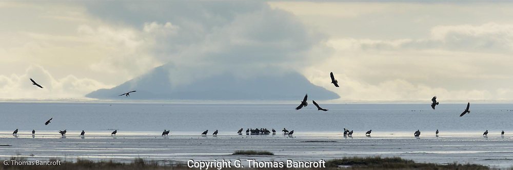 Bald Eagles began to converge along one section of the beach in Boundary Bay.  A small group settled together and additional ones were spaced out from this central group.  I wonder what brought this magnificent assemblage of eagles together in one place? (G. Thomas Bancroft)
