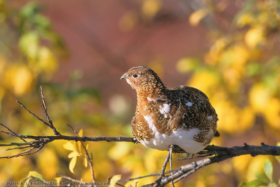 ptarmigan photos: Willow Ptarmigan, autumn, Denali National Park, Alaska (Patrick J. Endres / AlaskaPhotoGraphics.com)