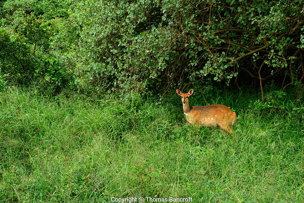 Bushbucks are solitary and like woodland areas in Nairobi National Park and elsewhere in Kenya. (Thomas Bancroft)