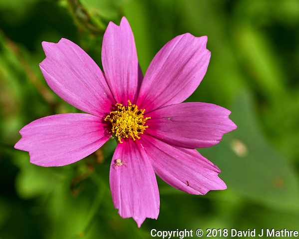 Cosmos. Image taken with a Fuji X-H1 camera and 80 mm f/2.8 macro lens (DAVID J MATHRE)