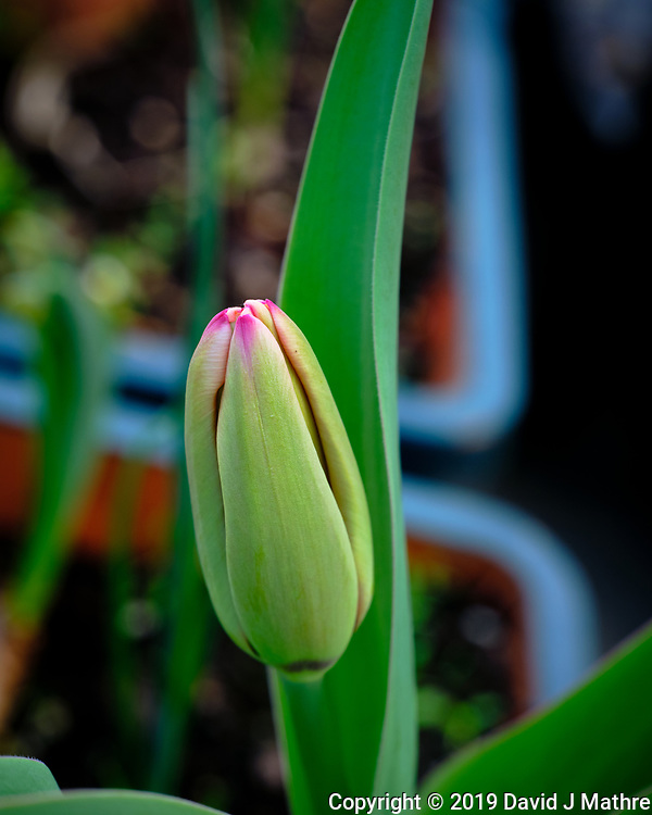 Tulip about to Bloom. Image taken with a Fuji X-H1 camera and 80 mm f/2.8 macro lens (DAVID J MATHRE)