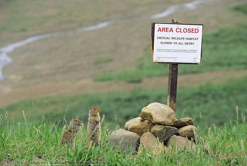 Arctic Ground Squirrel, Denali National Park, Alaska (Patrick J. Endres / AlaskaPhotoGraphics.com)