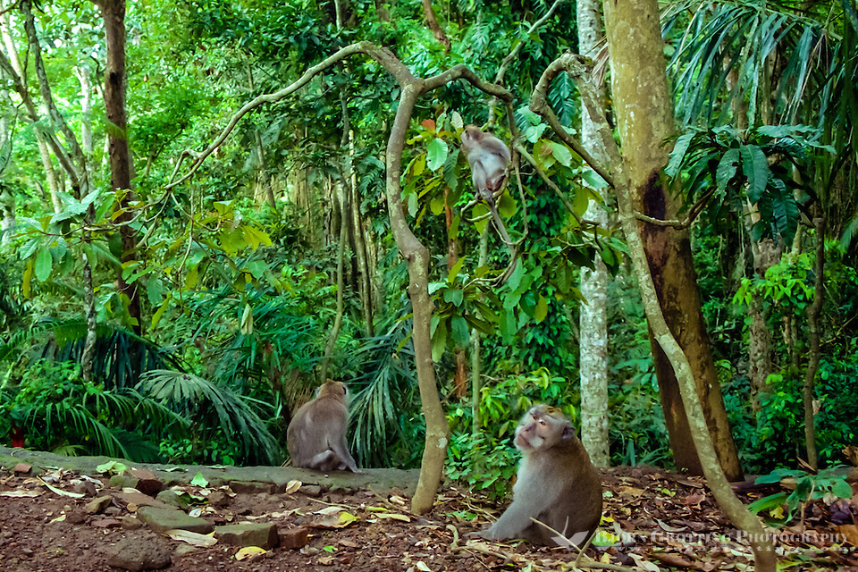 Bali, Gianyar, Ubud. Some of the approximately 340 macaque monkeys in the monkey forest. (Photo Bjorn Grotting)