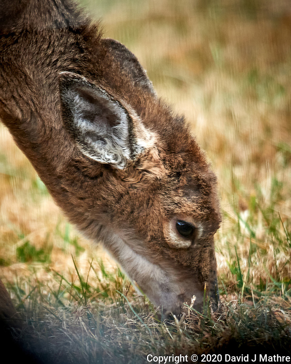 Scraggly Young Doe. Image taken with a Nikon D5 camera and 600 mm f/4 VR lens (ISO 1400, 600 mm, f/4, 1/1250 sec). (DAVID J MATHRE)