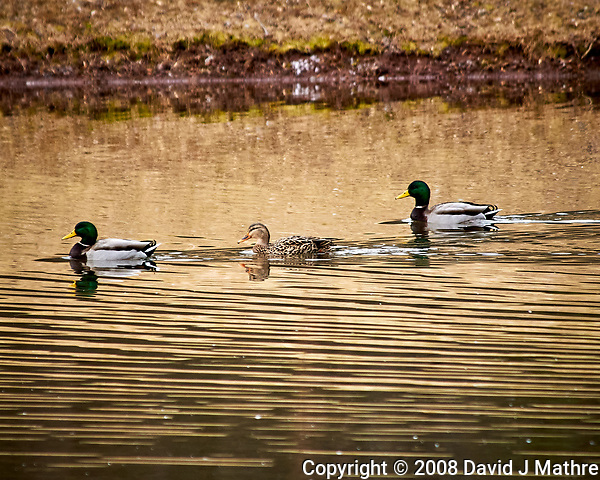 Mallard Ducks at the Sourland Mountain Preserve. Image taken with a Nikon D300 camera and 80-400 mm VR lens (ISO 400, 400 mm, f/5.6, 1/250 sec). (David J Mathre)