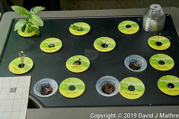 AeroGarden Farm 04 Right Tray at 14 days. R01-R03 Basil; R04 Genovese Basil; R05 Chives; R06 Dill; R07 Dill; R08-R09 Parsley; R10 Oregno; R11 Rosemary; R12 Thyme. Image taken with a Leica TL-2 camera and 35 mm f/1.4 lens (ISO 640, 35 mm, f/11, 1/40 sec). (DAVID J MATHRE)