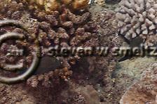 Ambon Toby, Canthigaster amboinensis, (Bleeker, 1865), Maui, Hawaii (Steven W SMeltzer)