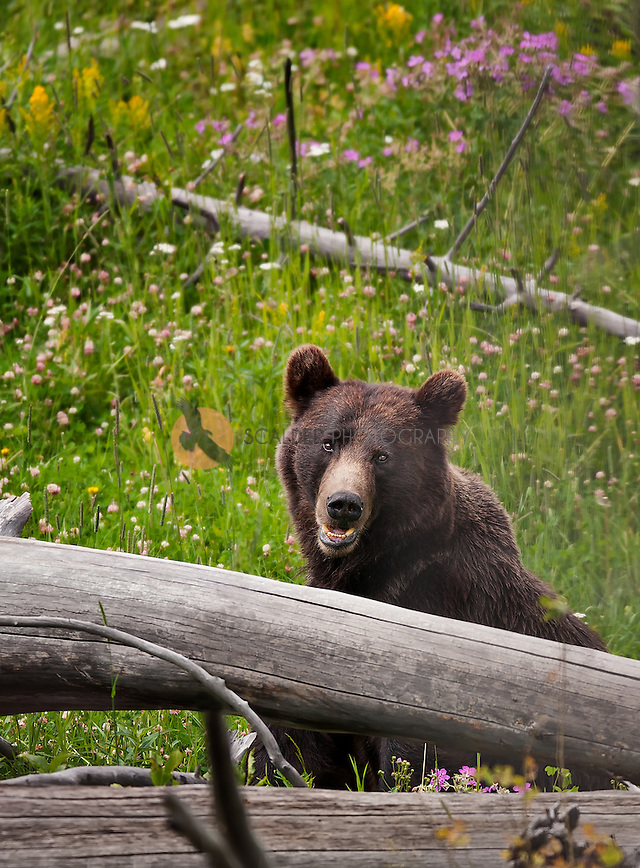 Young Grizzly Bear sitting in meadow behind a log surrounded by wildflowers in Montana (sandra calderbank)