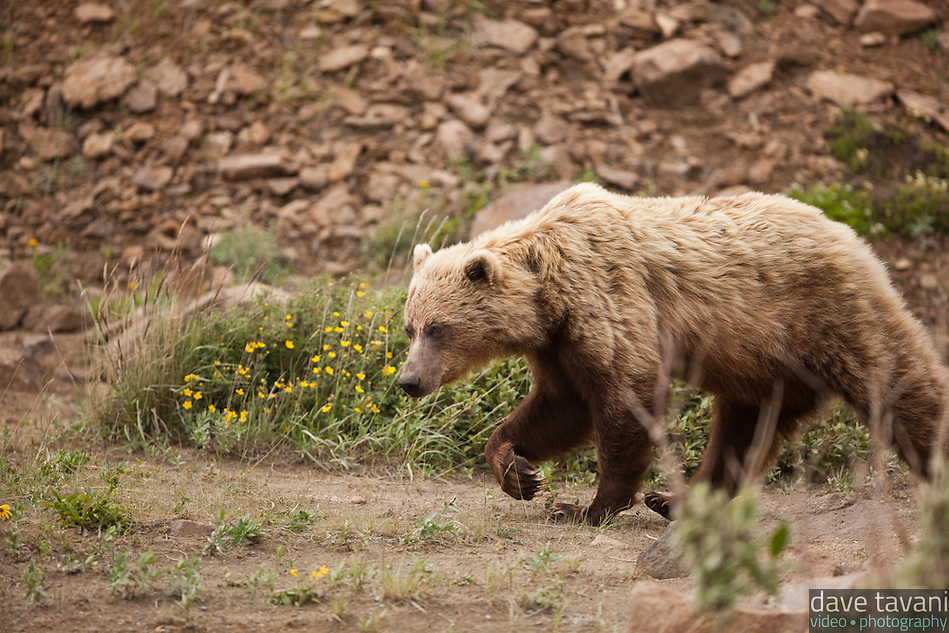 This grizzly bear came strolling down a hillside and walked right past the park bus we rode, as if it wasn't even there. Official estimates suggest that approximately 300 grizzly bears live in Denali National Park. (Dave Tavani)