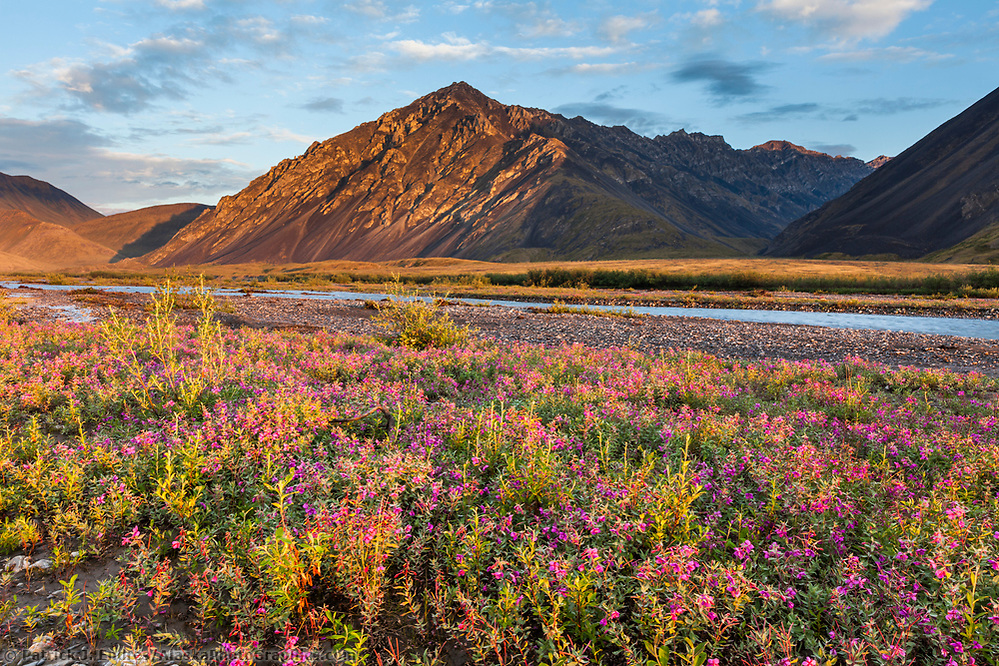 Dwarf fireweed, or river beauty, along the Marsh Fork of the Canning River in the Arctic National Wildlife Refuge in the Brooks Range mountains, Alaska. (Patrick J. Endres / AlaskaPhotoGraphics.com)