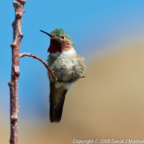 Male Broad-tailed Humming Bird at Lilly Lake in Rocky Mountain National Park. Image taken with a Nikon D3 and 70-200 mm f/2.8 VR lens + TC-E II 20 teleconverter (ISO 400, 400 mm, f/11, 1/400 sec). Raw image processed with Capture One Pro, Focus Magic, and Photoshop CS5. (David J Mathre)