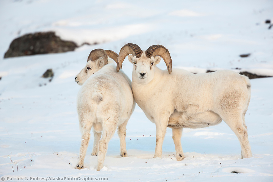 Dall sheep rams in the snow along the Brooks Range mountains in Atigun canyon. (Patrick J. Endres / AlaskaPhotoGraphics.com)
