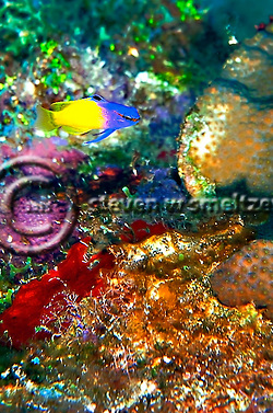 Fairy Basslet, Gramma loreto, Coral reef Grand Cayman (Steven Smeltzer)