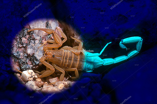 Bark Scorpion (Centruroides exilicauda) under both visible and UV light (Composite, Arizona) (Richard Wagner/Rich Wagner | WildNaturePhotos)
