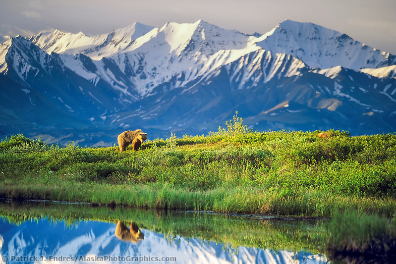 Female grizzly bear basks in the morning sun near a small tundra pond in Denali National Park, Alaska, snow covered Alaska mountain range in the distance. (Patrick J. Endres / AlaskaPhotoGraphics.com)