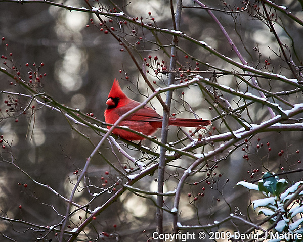 Male Northern Cardinal perched on a vine. Image taken with a Nikon D700 camera and 80-400 mm VR lens (ISO 1600, 400 mm, f/8, 1/250 sec). (David J Mathre)