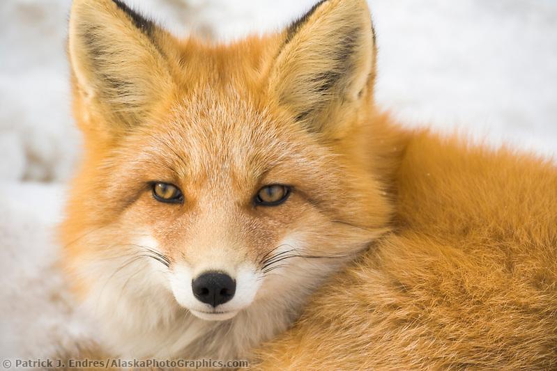 Red Fox in Alaska's Arctic, Atigun pass, Brooks range (Patrick J Endres / AlaskaPhotoGraphics.com)