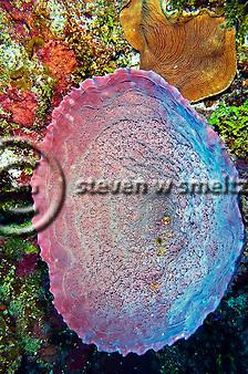 Pink Vase Sponge, Niphates digitalis, Grand Cayman (Steven Smeltzer)