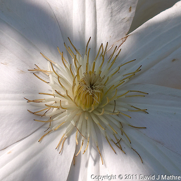 White Clematis Bloom. Image taken with a Leica X1 (ISO 100, 24 mm, f/5.6, 1/640 sec). Raw image processed with Capture One Pro 6, Focus Magic, and Photoshop CS5 (David J Mathre)
